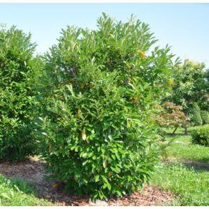 Prunus laurocerasus 'Caucasica' - Babérmeggy