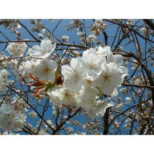 Prunus persica 'Albaroseoplena' - Őszibarack