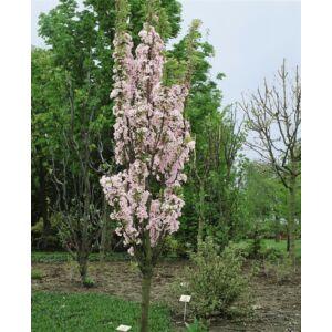 Prunus serrulata 'Amanogawa' - Oszlopos japán díszcseresznye (extra méretű koros)