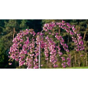 Prunus serrulata 'Kiku-Shidare Zakura' - Japán díszcseresznye 'Kiku-shidare' fajta