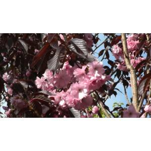 Prunus serrulata 'Royal Burgundi' - Vöröslevelű japán díszcseresznye (extra méretű koros)
