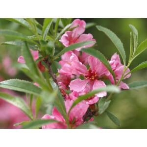 Prunus tenella 'Kati' - Törpe díszmandula