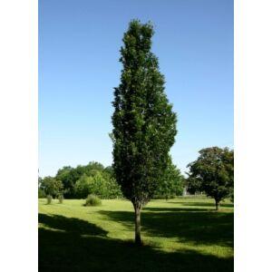 Quercus palustris 'Green Pillar' – Oszlopos mocsári tölgy (extra méretű koros)