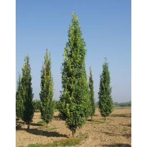 Quercus robur 'Fastigiata Koster' – Oszlopos kocsányos tölgy (extra méretű koros)