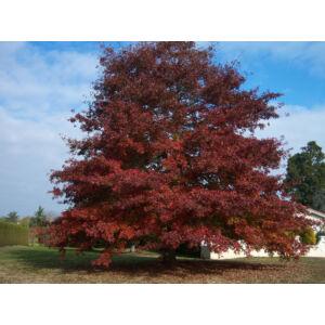 Quercus rubra - Vörös tölgy (extra méretű koros)
