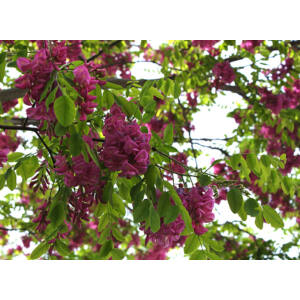 Robinia pseudoacacia 'Casque Rouge' - Rózsaszín virágú akác