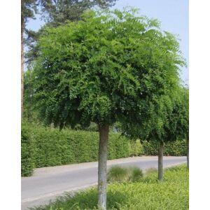 Robinia pseudoacacia 'Umbraculifera' – Gömbakác (extra méretű koros)