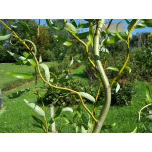 Salix erythroflexuosa - Csavart és csüngő fűz
