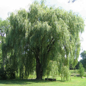 Salix alba 'Tristis' - Szomorúfűz