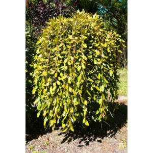 Salix caprea 'Pendula' - Csüngő barkafűz