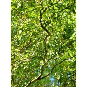 Salix matsudana 'Tortuosa' - Spirálfűz