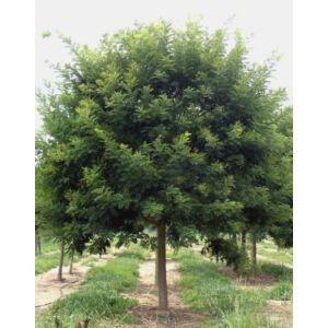 Sophora japonica 'Regent' – Japánakác (extra méretű koros)