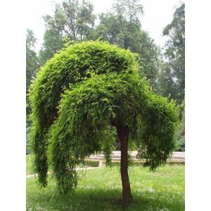 Sophora japonica 'Pendula' - Csüngő japánakác (Pagodafa)