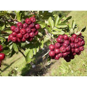 Sorbus 'Titan' - Ehető termésű berkenye
