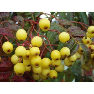 Sorbus arnoldiana 'Golden Wonder' -Berkenye