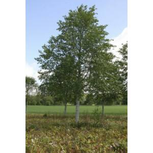 Sorbus incana - Kúpos berkenye