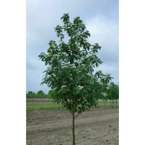 Sorbus thuringiaca 'Fastigiata' - Türingiai oszlopos berkenye