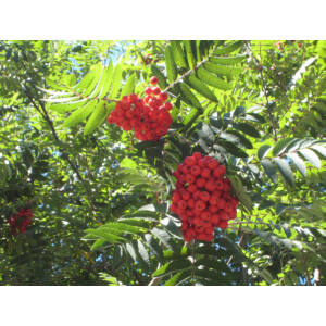 Sorbus aucuparia 'Cardinal Royal' - Madárberkenye