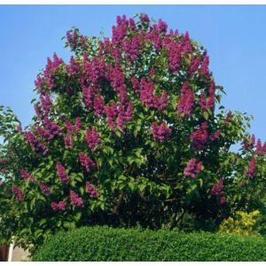 Syringa vulgaris 'Charles Joly' - Telt, sötétlila orgona