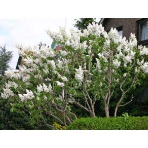 Syringa vulgaris 'Mme. Lemoine' - Fehér virágú orgona
