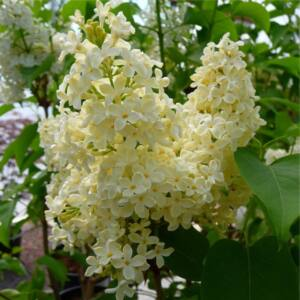 Syringa vulgaris 'Primrose' - Sárga orgona