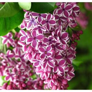 Syringa vulgaris 'Sensation' - Tarka szirmú orgona