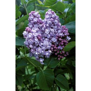 Syringa vulgaris 'Michel Buchner' - Telt, lila virágú orgona