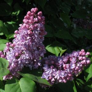Syringa vulgaris 'Mrs. Edward Harding' - Bíbor orgona