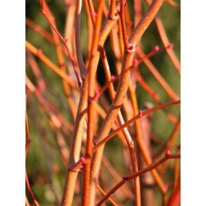 Tilia cordata 'Winter Orange' - Kislevelű hárs
