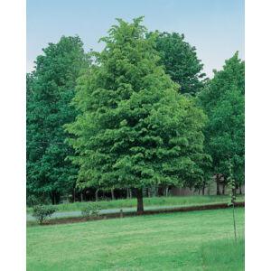 Tilia flavescens 'Glenleven' – Hárs (extra méretű koros)