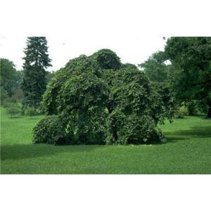 Ulmus glabra 'Camperdownii' ('Pendula') - Csüngő hegyi szil