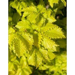 Ulmus hollandica 'Wredei' - Sárga szil (extra méretű koros)