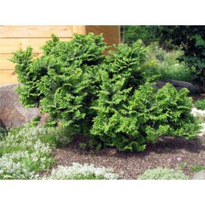 Ulmus elegantissima 'Jacqueline Hillier' – Törpe szil (magastörzsre oltott)