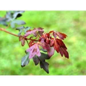 Acer campestre 'Red Shine' - Vörös lombú juharfa (extra méretű koros)
