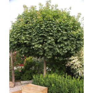 Acer campestre 'Nanum' - Gömb koronájú juharfa