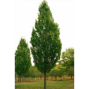 Acer freemanii 'Armstrong' - Vörös és ezüst juhar hibrid