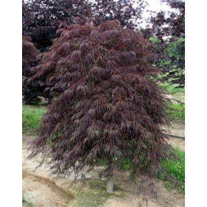 Acer palmatum 'Crimson Queen' - Csüngő habitusú, bronzszínű, szeldelt levelű japán juhar