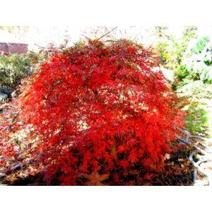 Acer palmatum 'Orangeola' - Japán juhar