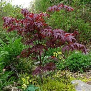 Acer palmatum 'Bloodgood' - Bordó levelű japán juhar