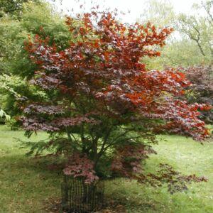 Acer palmatum 'Fireglow' - Japán juhar (extra méretű koros)