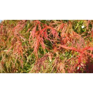 Acer palmatum 'Palmatifidum' - Japán juhar