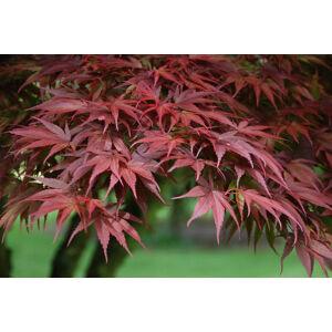 Acer palmatum 'Pixie' - Japán juhar