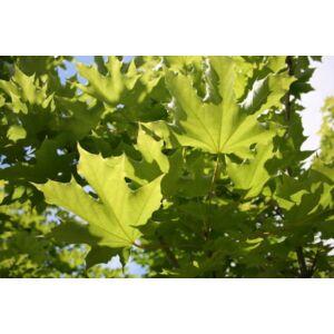 Acer platanoides 'Emerald Queen' - Korai juhar (extra méretű koros)