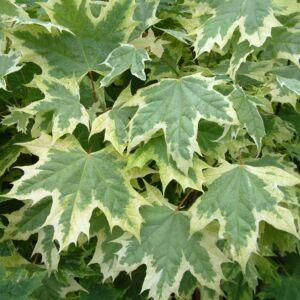 Acer platanoides 'Drummondii' - Korai juhar (extra méretű koros)