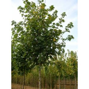 Acer pseudoplatanus 'Negenia' - Hegyi juhar (extra méretű koros)