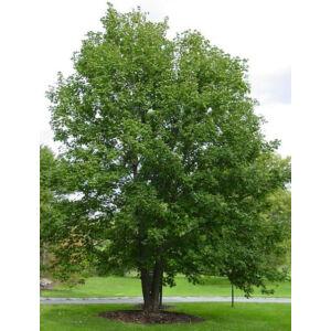 Acer pseudoplatanus – Hegyi juhar