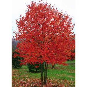 Acer rubrum 'Red Sunset' - Vörös juhar