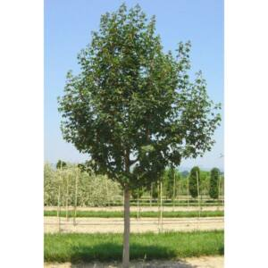 Acer campestre 'Elsrijk' - Tojásdad koronájú juharfa