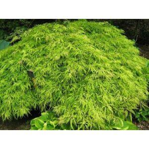 Acer palmatum 'Flavescens' - Csüngő habitusú, élénkzöld, szeldelt levelű japán juhar