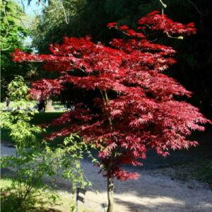 Acer palmatum 'Atropurpureum' - Japán juhar (extra méretű koros)